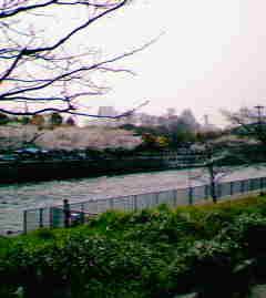 大阪城のさくら
