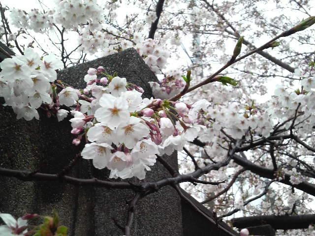 桜咲いてます