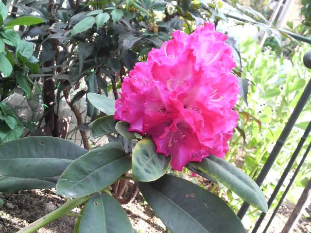 実家に咲いてるお花たちと鯵